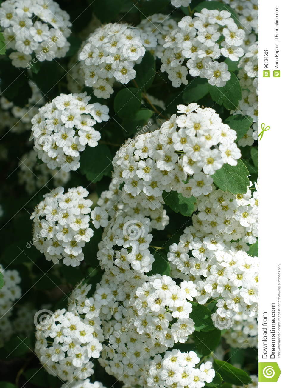Closeup Of Small White Flowers Of Spirea Stock Image Image Of