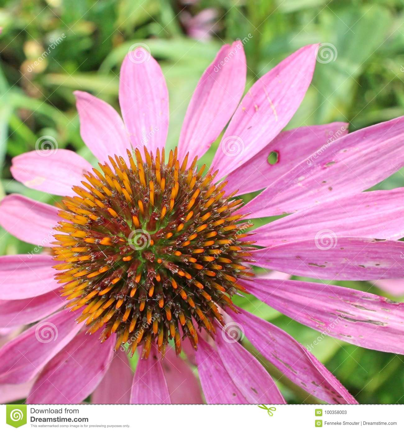 Closeup Of The Spiky Capitulum Of A Pink Echinacea Flower Stock
