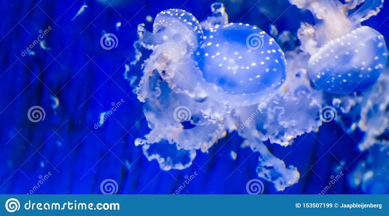 Closeup of a spotted jellyfish, floating bell jellyfish, tropical specie from the pacific ocean