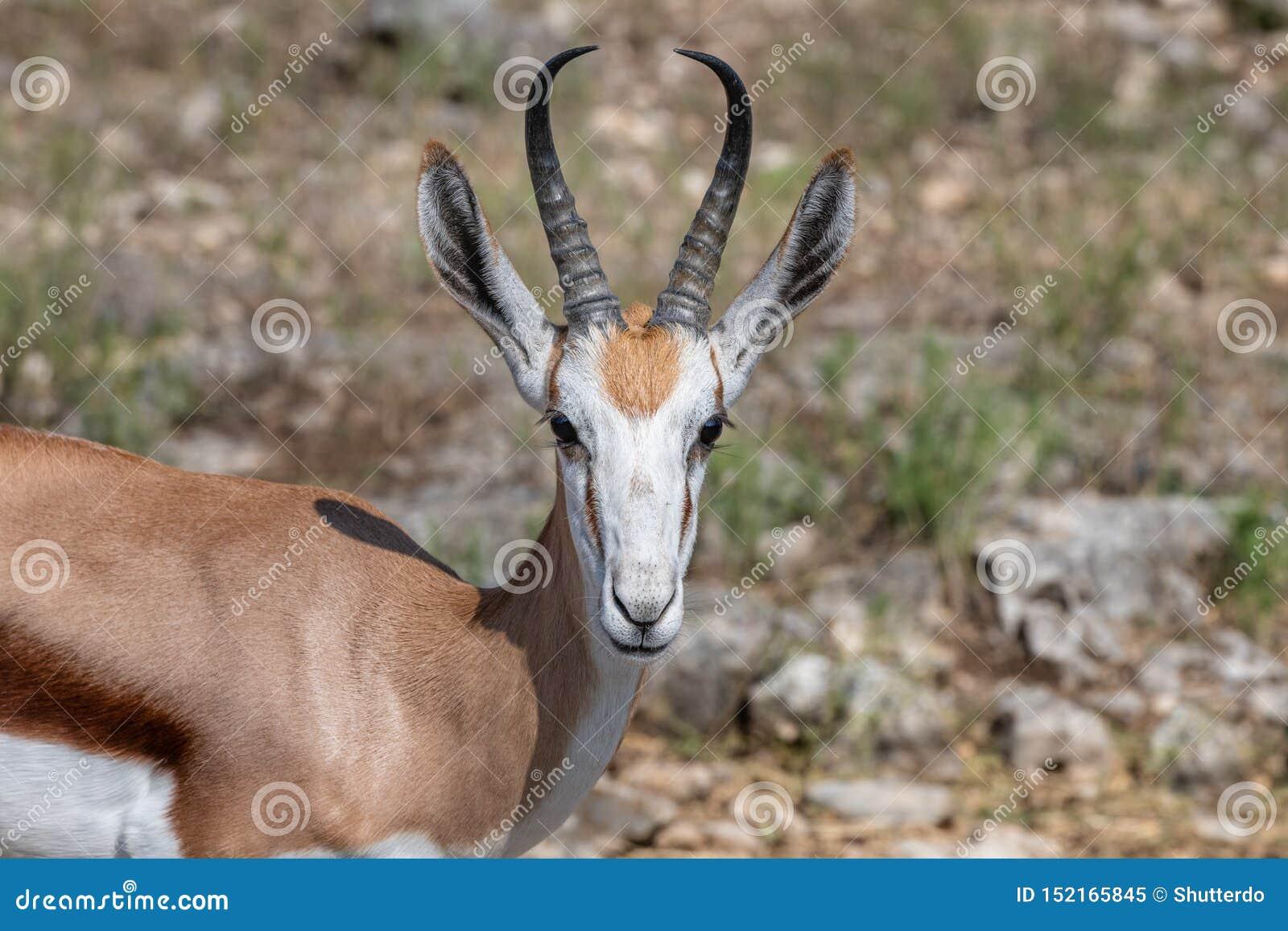 Closeup of a springbok antelope head and shoulder
