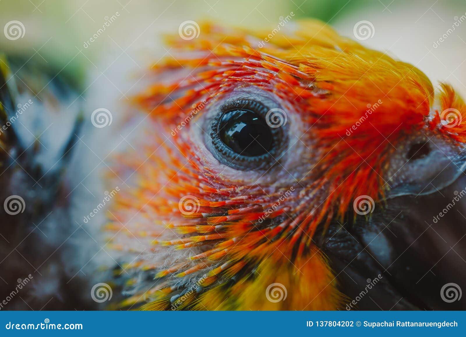 Closeup Sun Conure bird