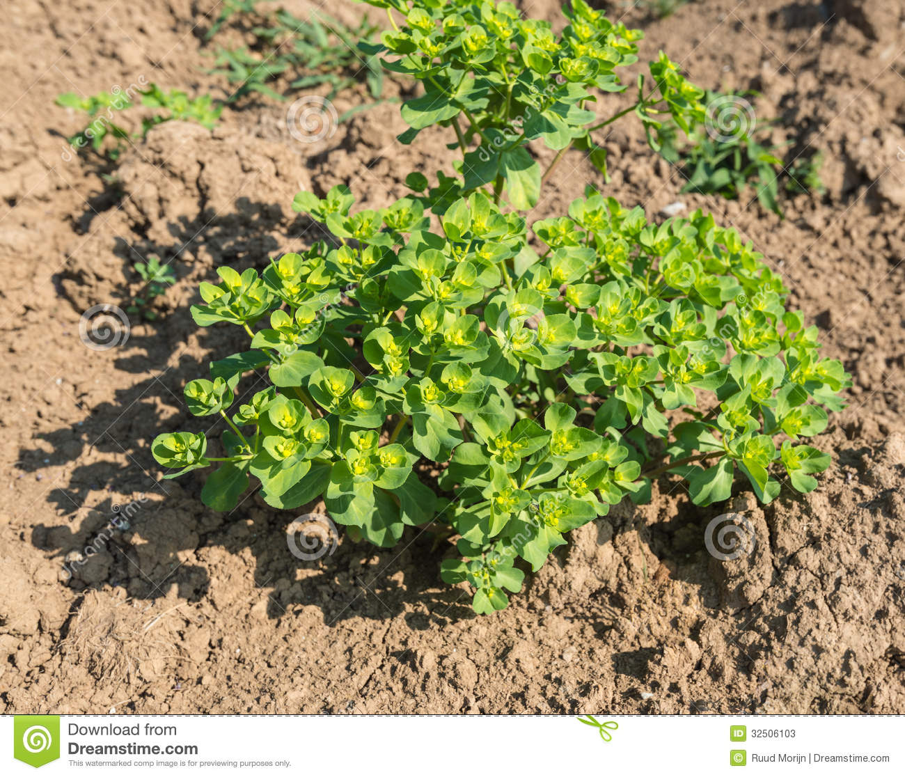 Closeup of a Sun Spurge plant in the soil