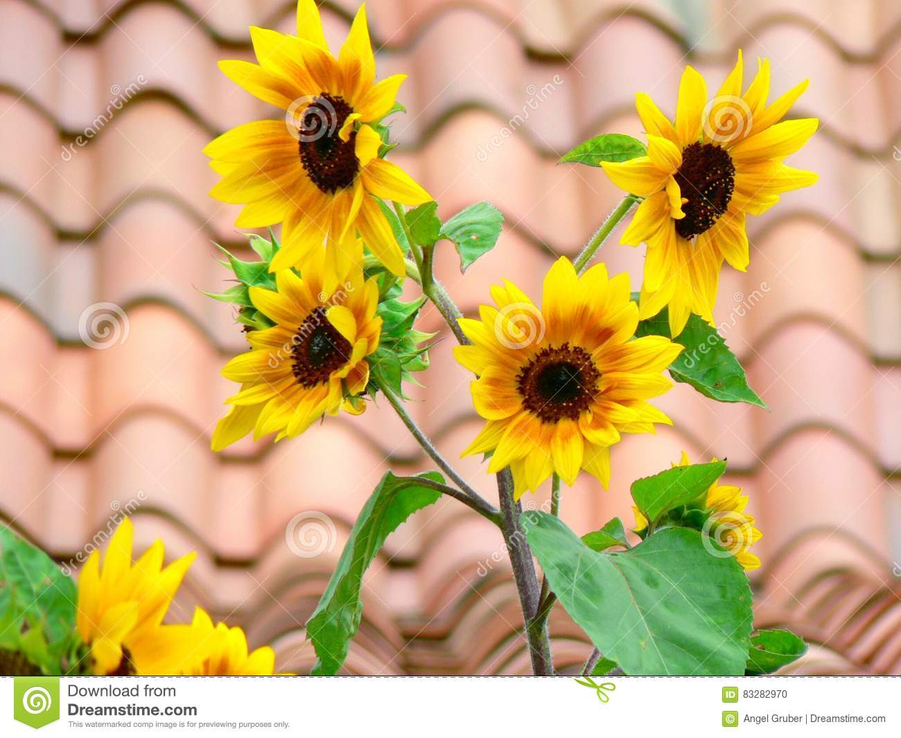 Closeup of sunflowers