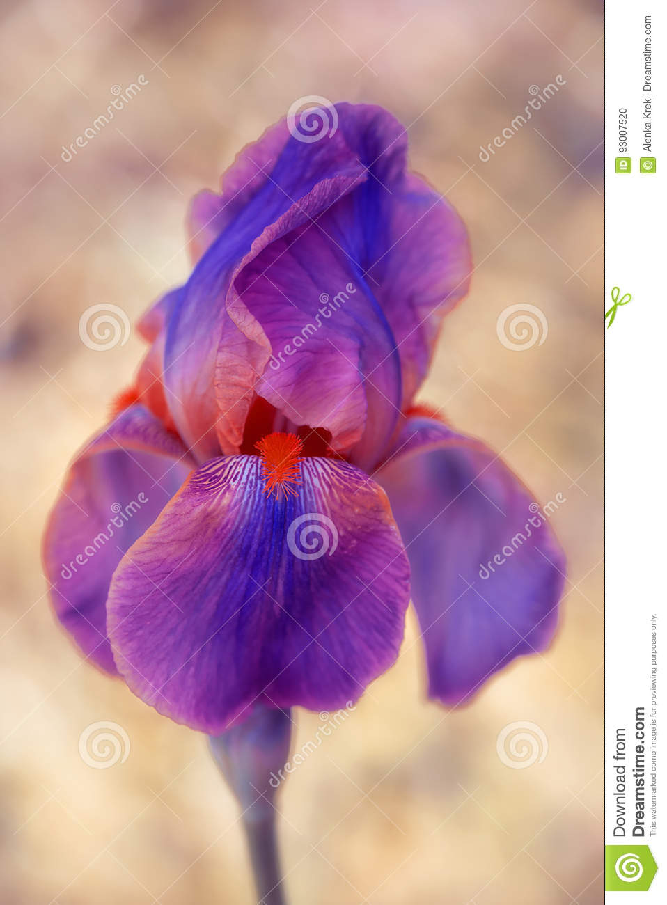 Closeup of surreal violet and red iris flower stock photo image of download closeup of surreal violet and red iris flower stock photo image of spring izmirmasajfo