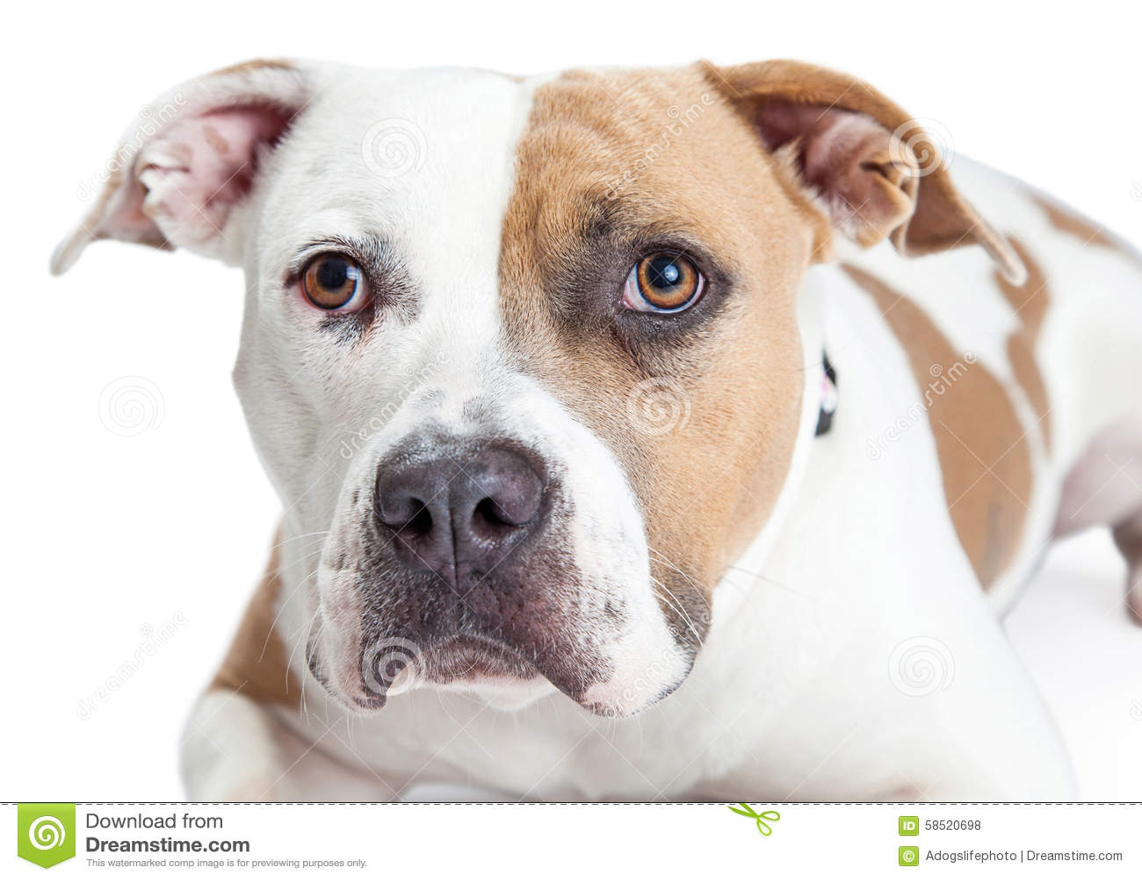 tan and white dog