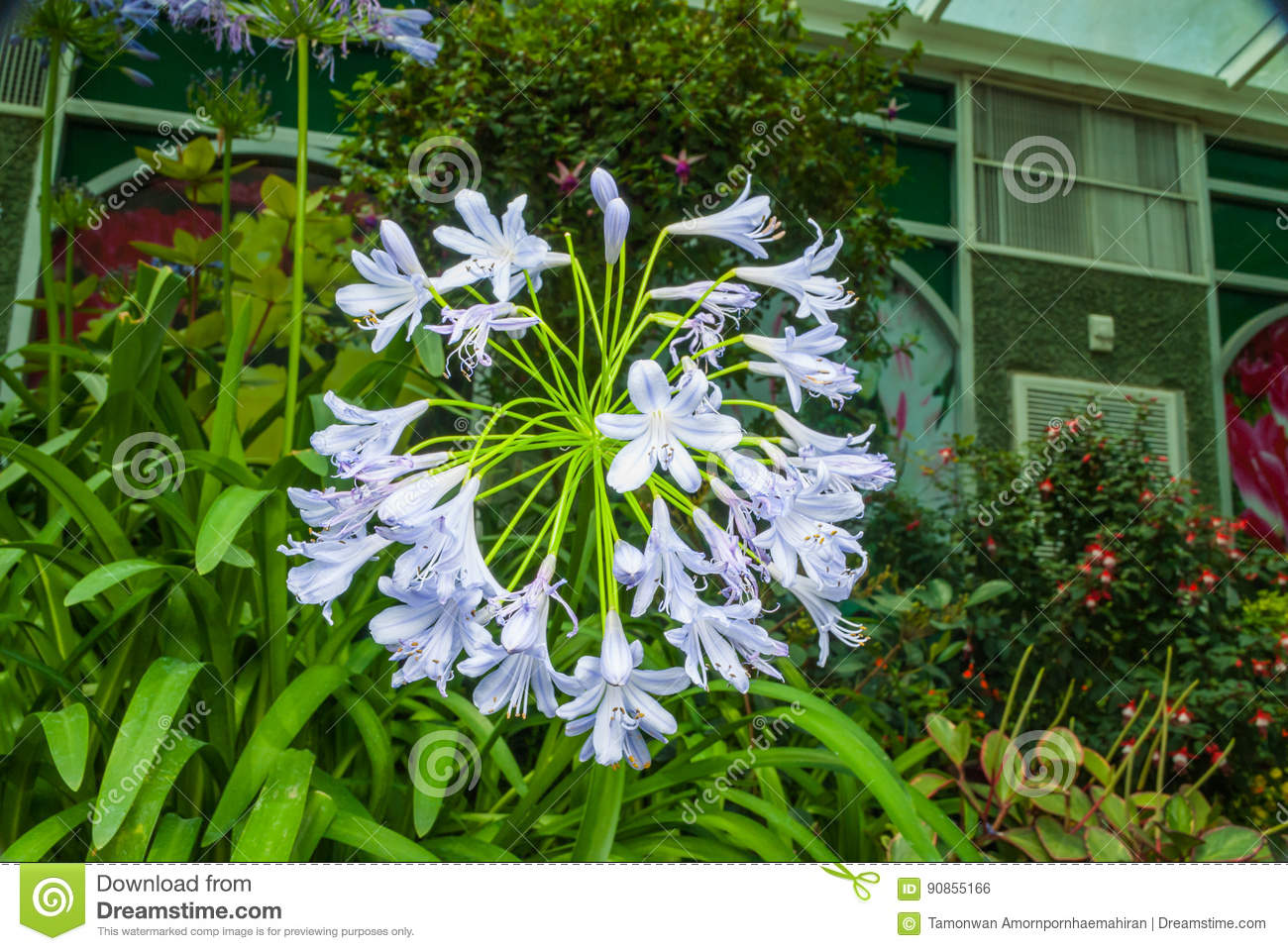 Closeup To African Lily Agapanthus Lily Of The Nile Agapanthus