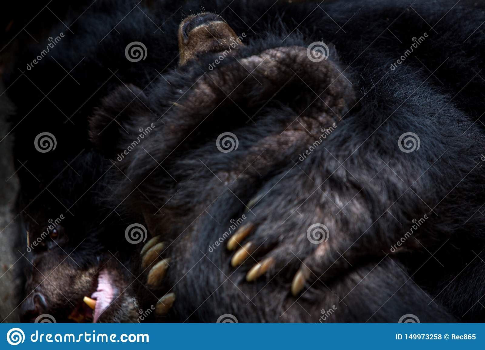 Closeup to the face of two adults Formosa Black Bears figthing with the claws