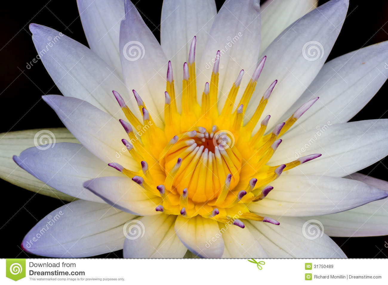 Closeup of a tropical white water lily flower nymphaeaceae stock a closeup of a tropical white water lily flower nymphaeaceae with center stamens closed izmirmasajfo