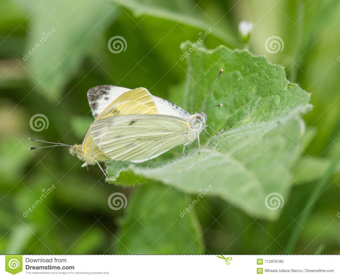 Closeup of two white butterflies mating on a green leaf