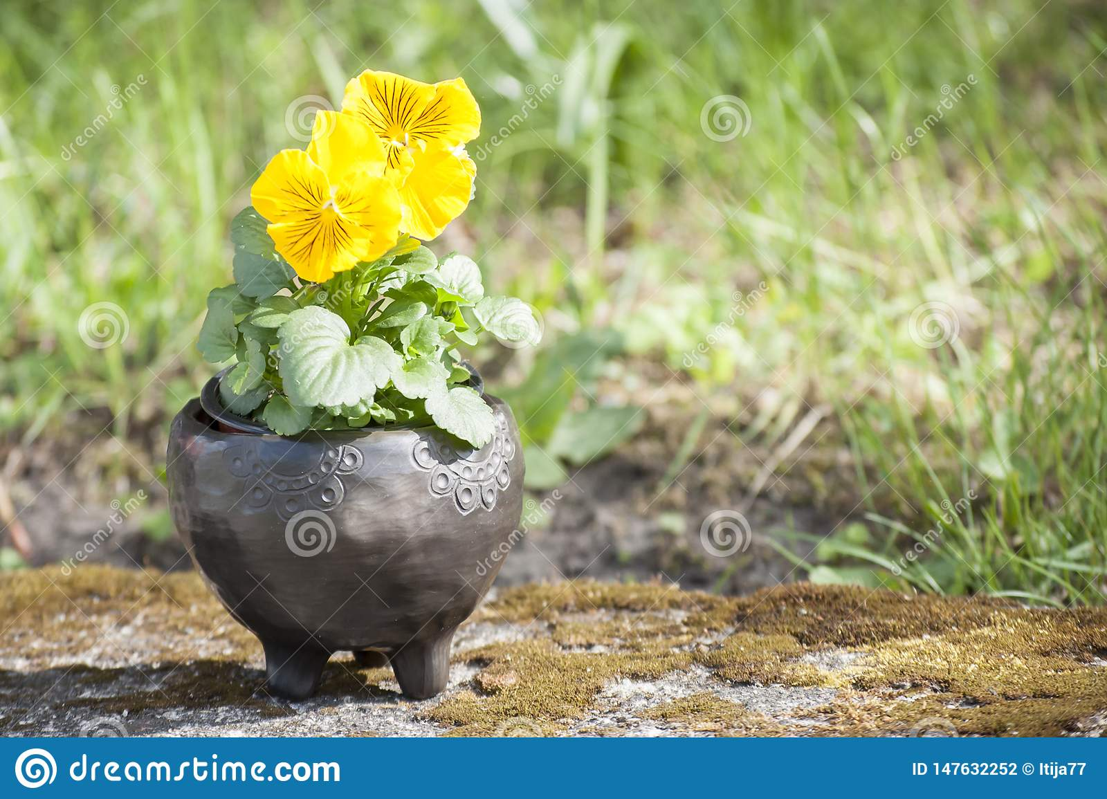 Beautiful Closeup Of Three Unique Planter Of Black Pottery With Yellow Flower In Summer Morning Sunlight Stock Photo Image Of Fire Green 147632252