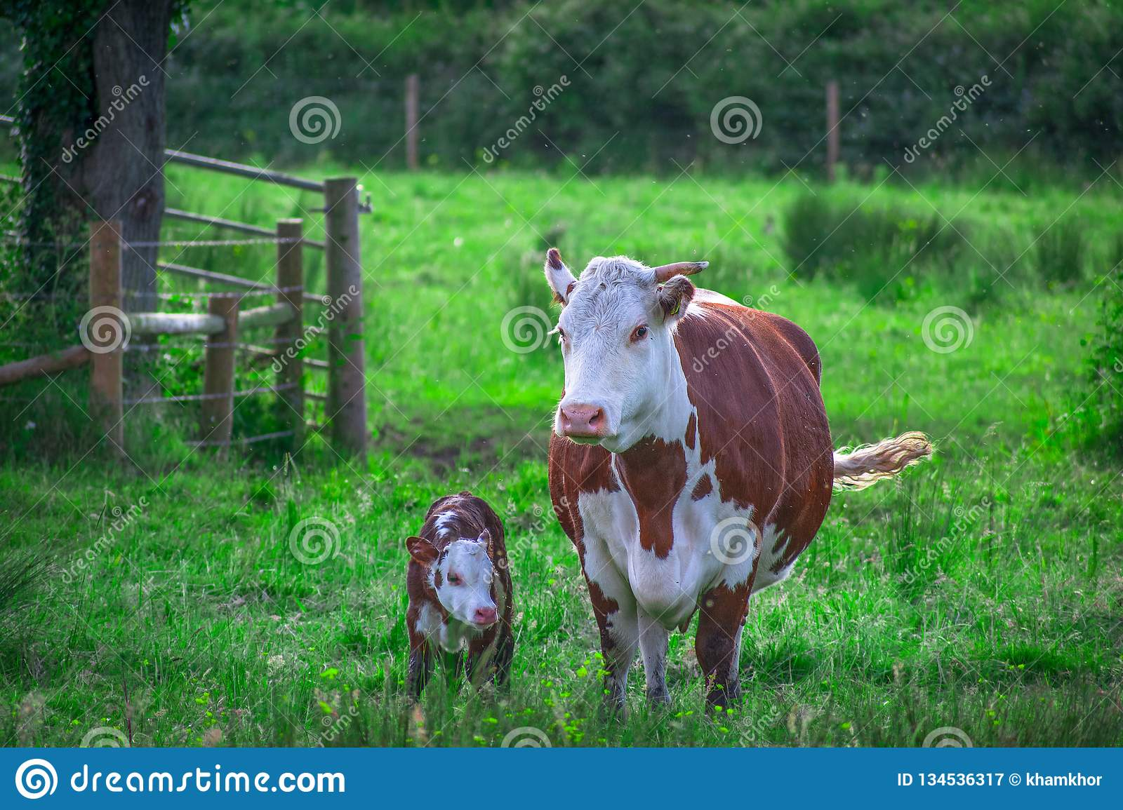 Closeup of very beautiful photo of Baby calf walking with mother cow in a green farm field in springtime royalty free stock photography