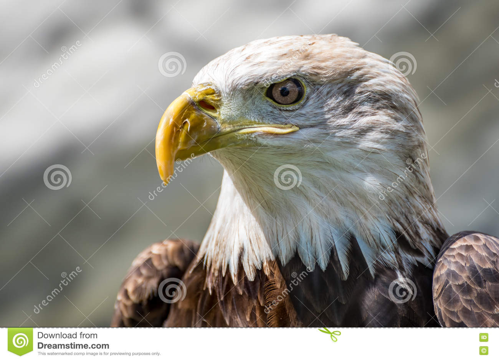 Closeup View of American Bald Eagle