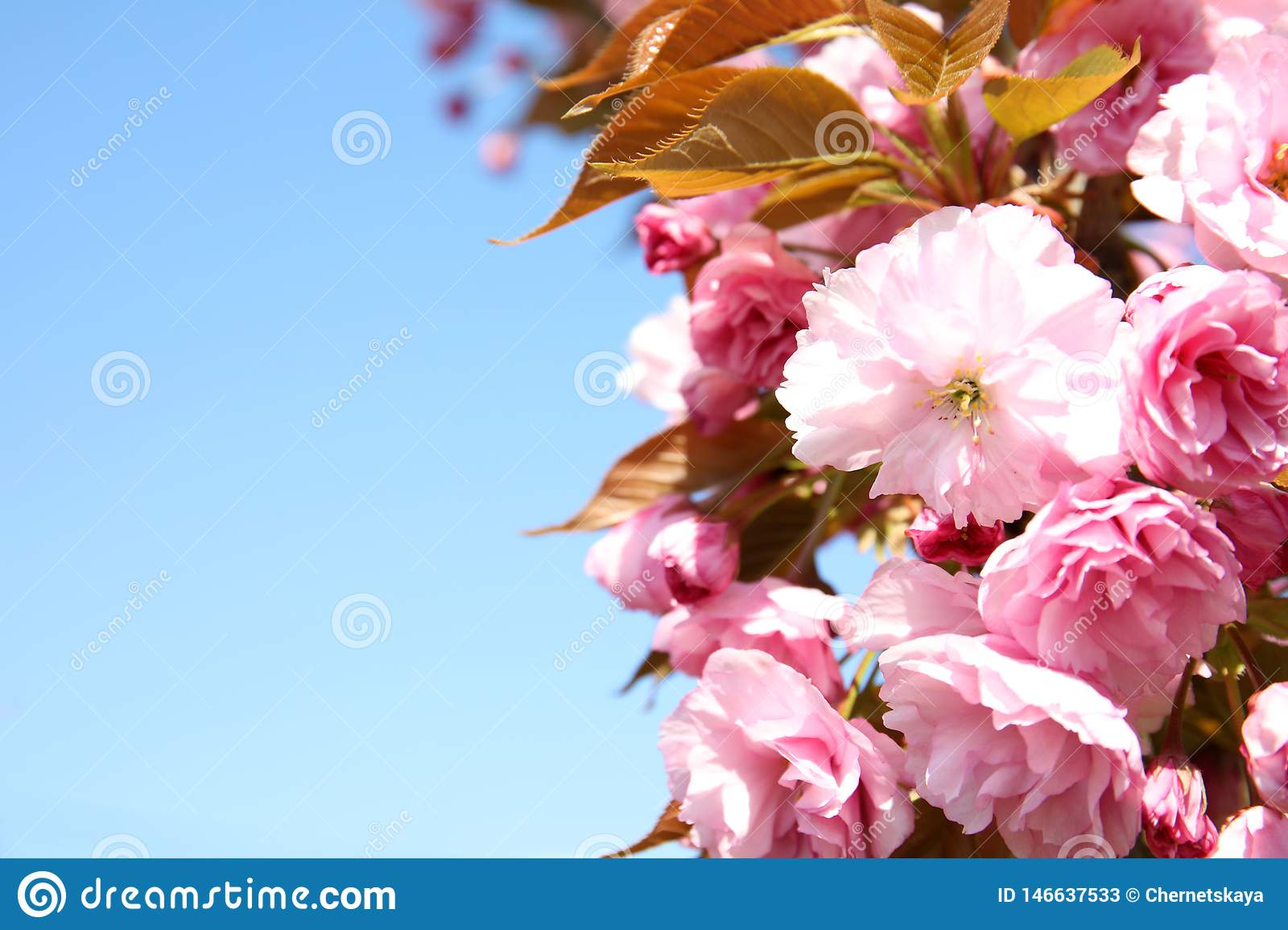 Closeup view of blooming spring tree against blue sky on sunny day.