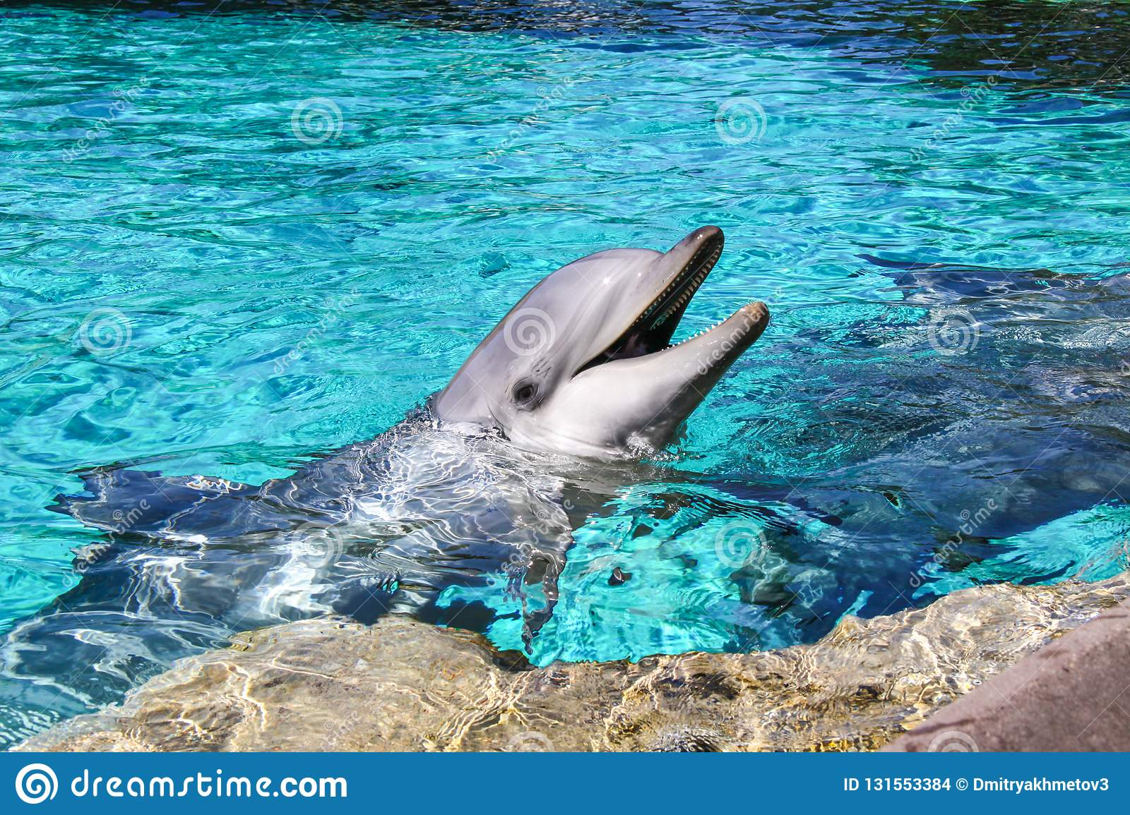 Portrait of a common bottlenose dolphin in a pool