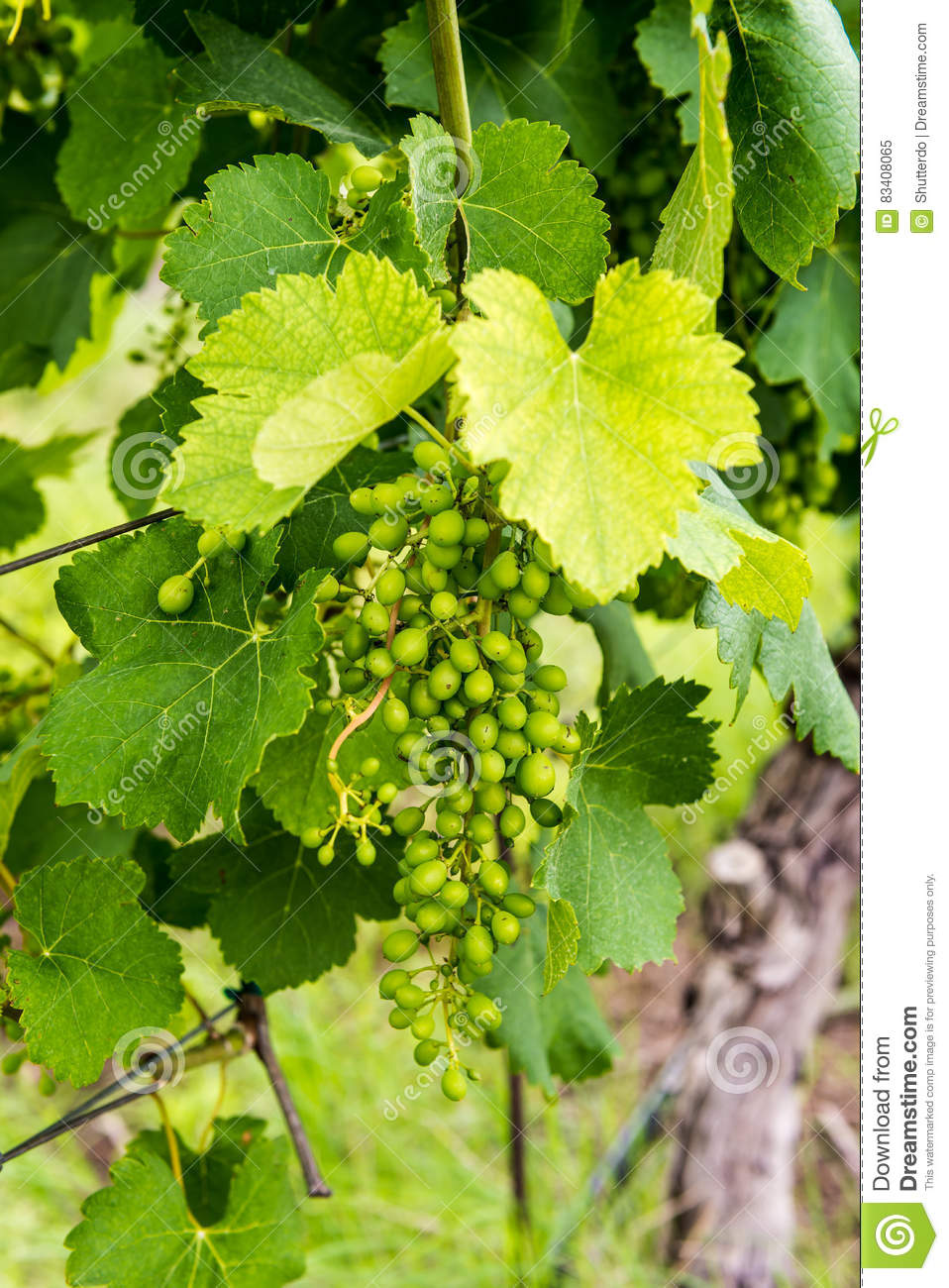 Closeup view of early spring grapes in a vineyard