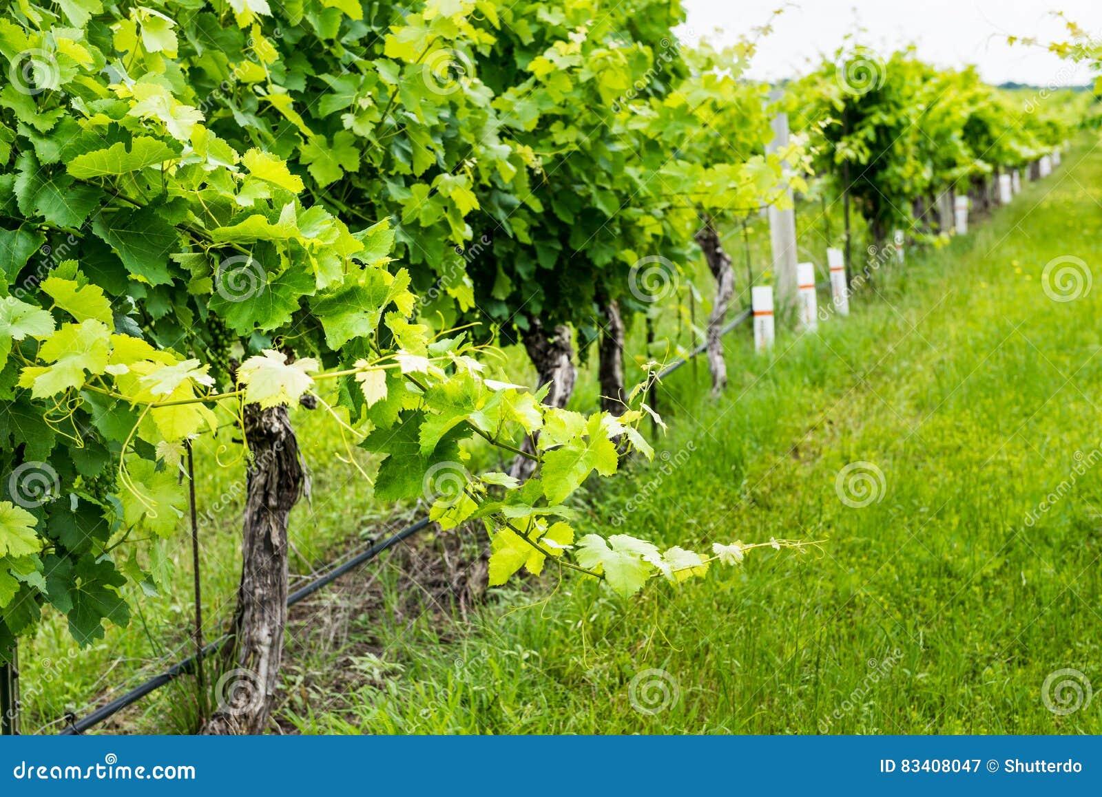 Closeup view of a grape vine with row of grapes