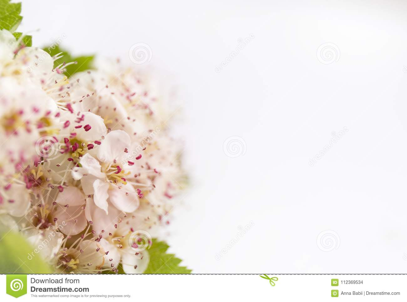 closeup view of hawthorn blossom on white background macro spring