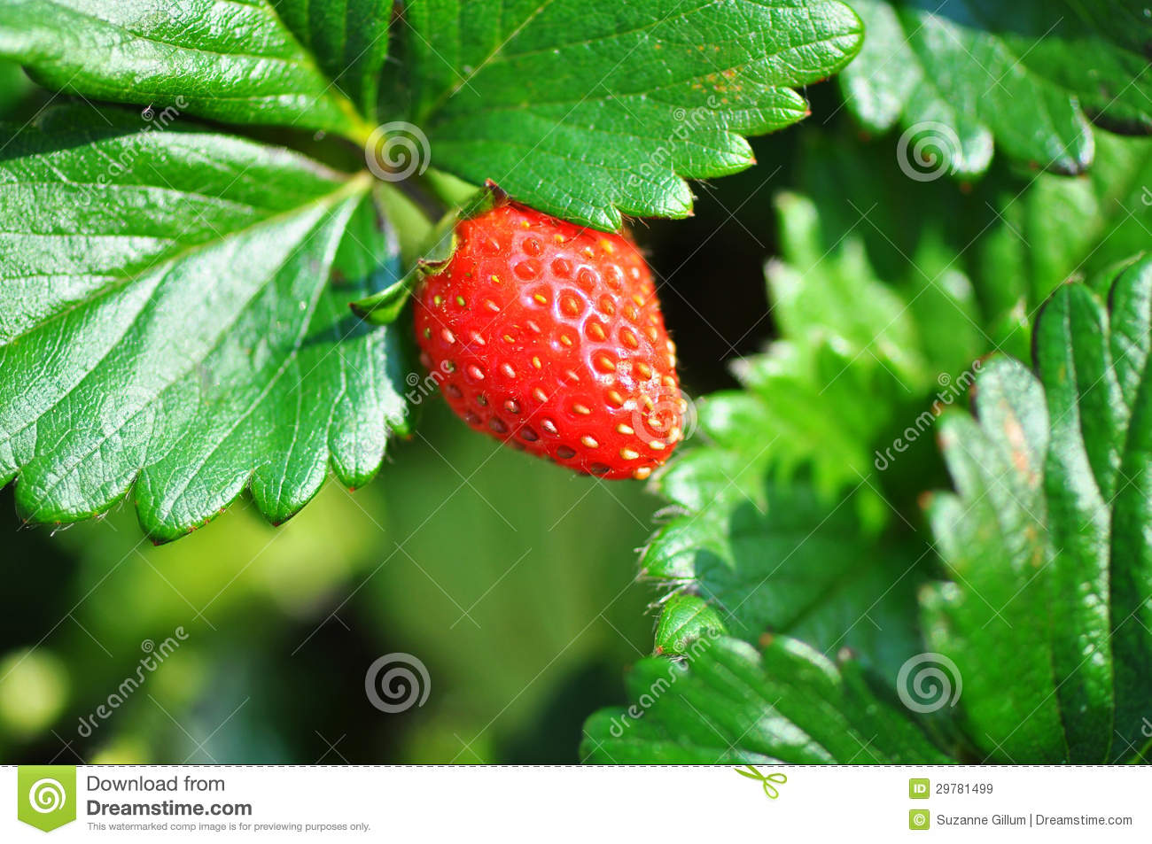 Sweetie Variety Of Strawberry Fruit Plant Amp Bush Royalty
