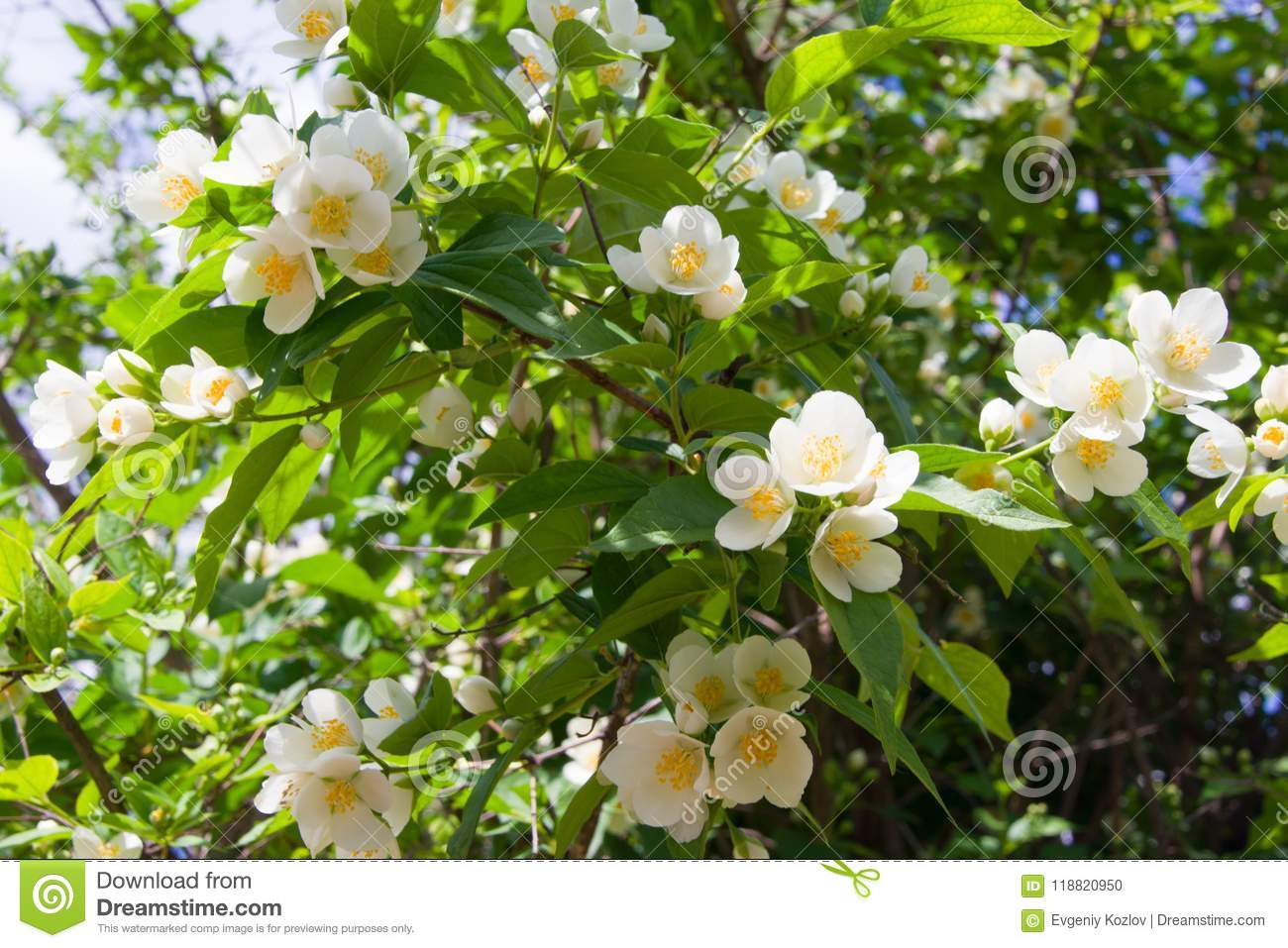 Closeup view of the white flowers of philadelphus on the bushes closeup view of the white flowers of philadelphus on the bushes mightylinksfo