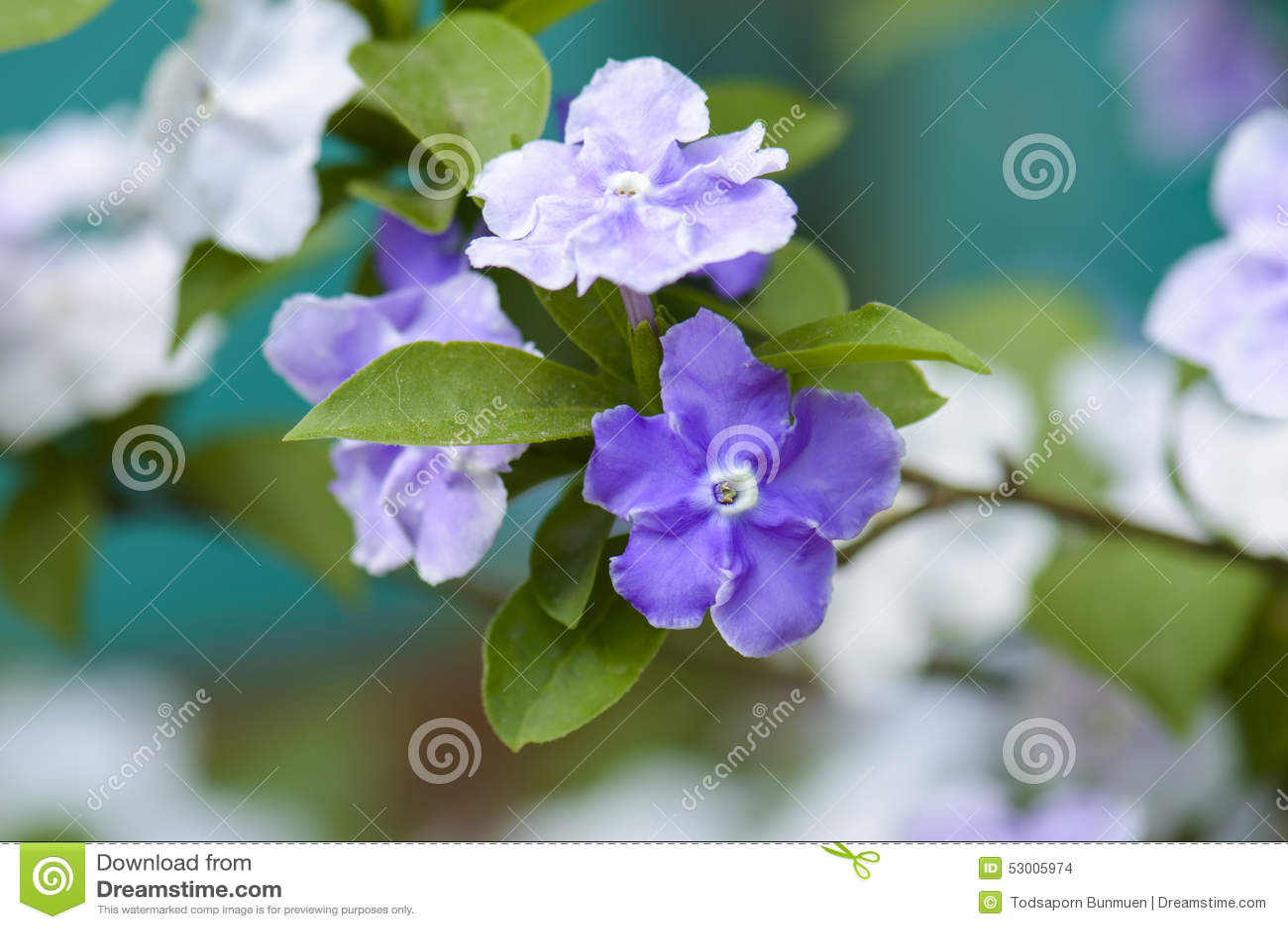 Closeup of violet brunfelsia jasmine flower stock photo image of closeup of violet brunfelsia jasmine flower izmirmasajfo