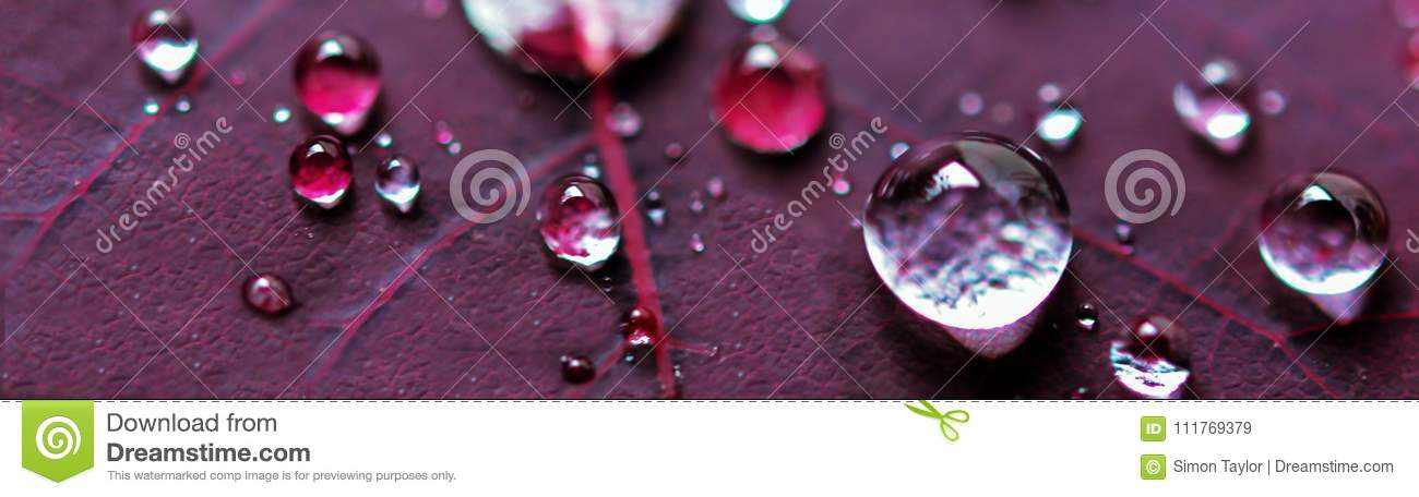 Micro Water Drops on Purple Plant Leaf