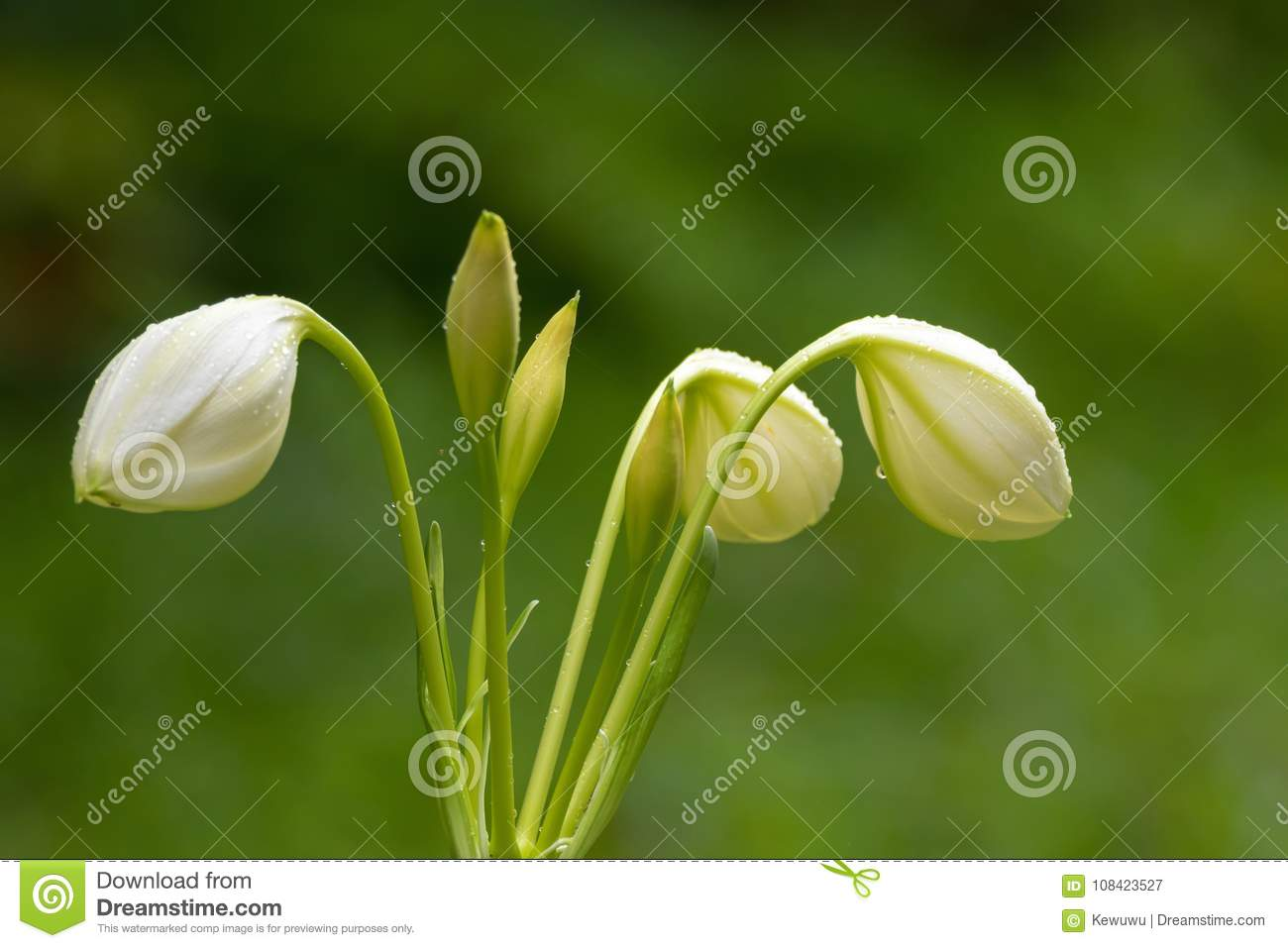 Closeup Wet Amazon Lily White Flower Bud Growing In Garden With