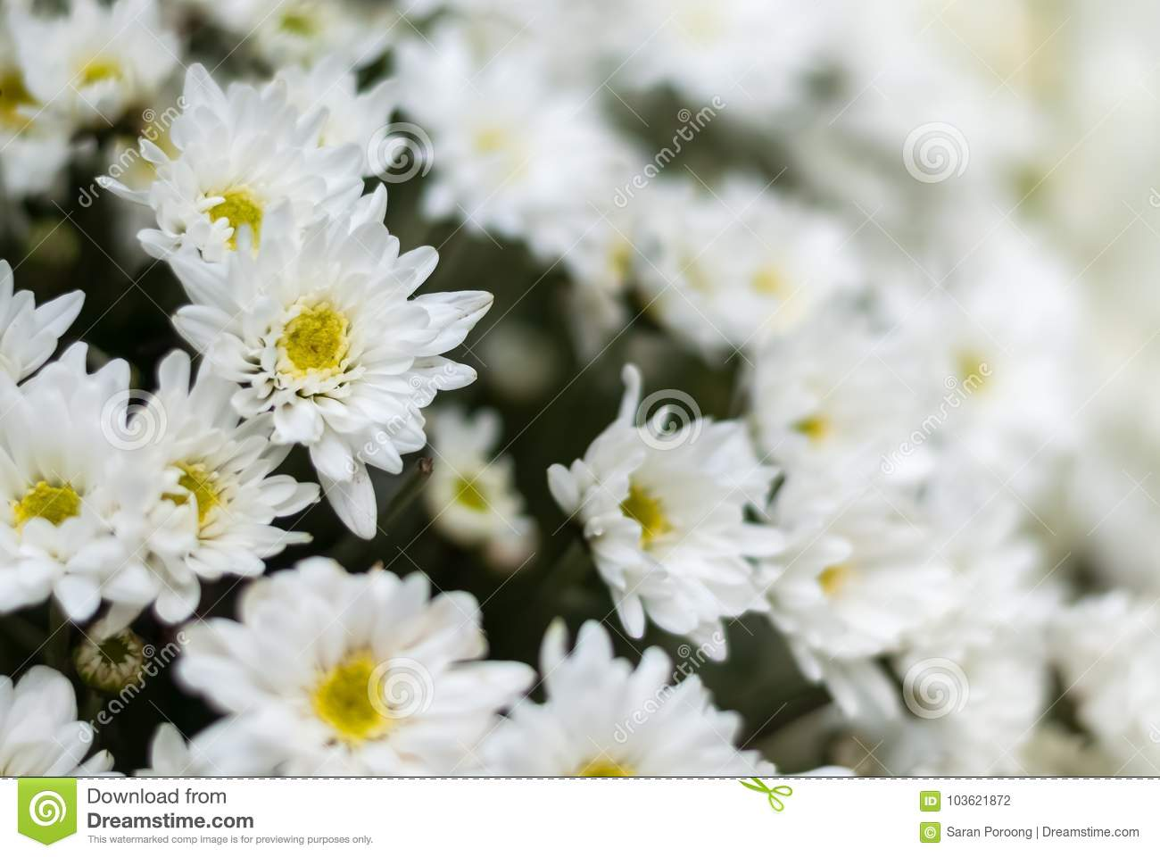 Closeup White Chrysanthemum Flower Bouquet Stock Photo Image Of