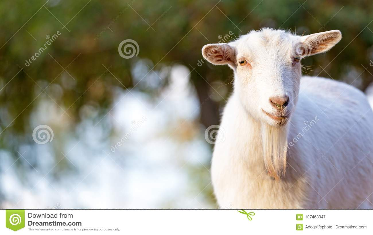 Closeup White Goat With Copy Space Stock Image - Image of