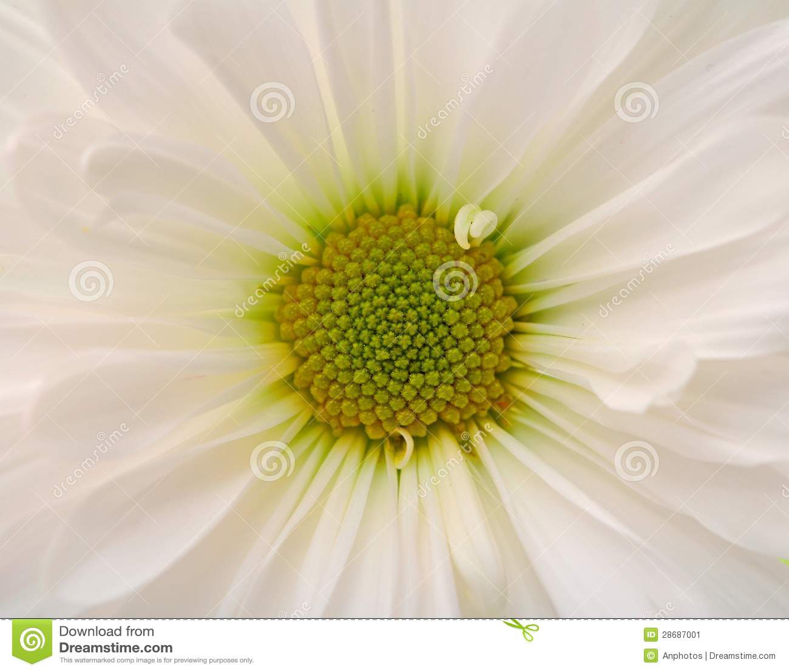 Closeup of white daisy flower stock image image of single floral closeup of white daisy flower izmirmasajfo