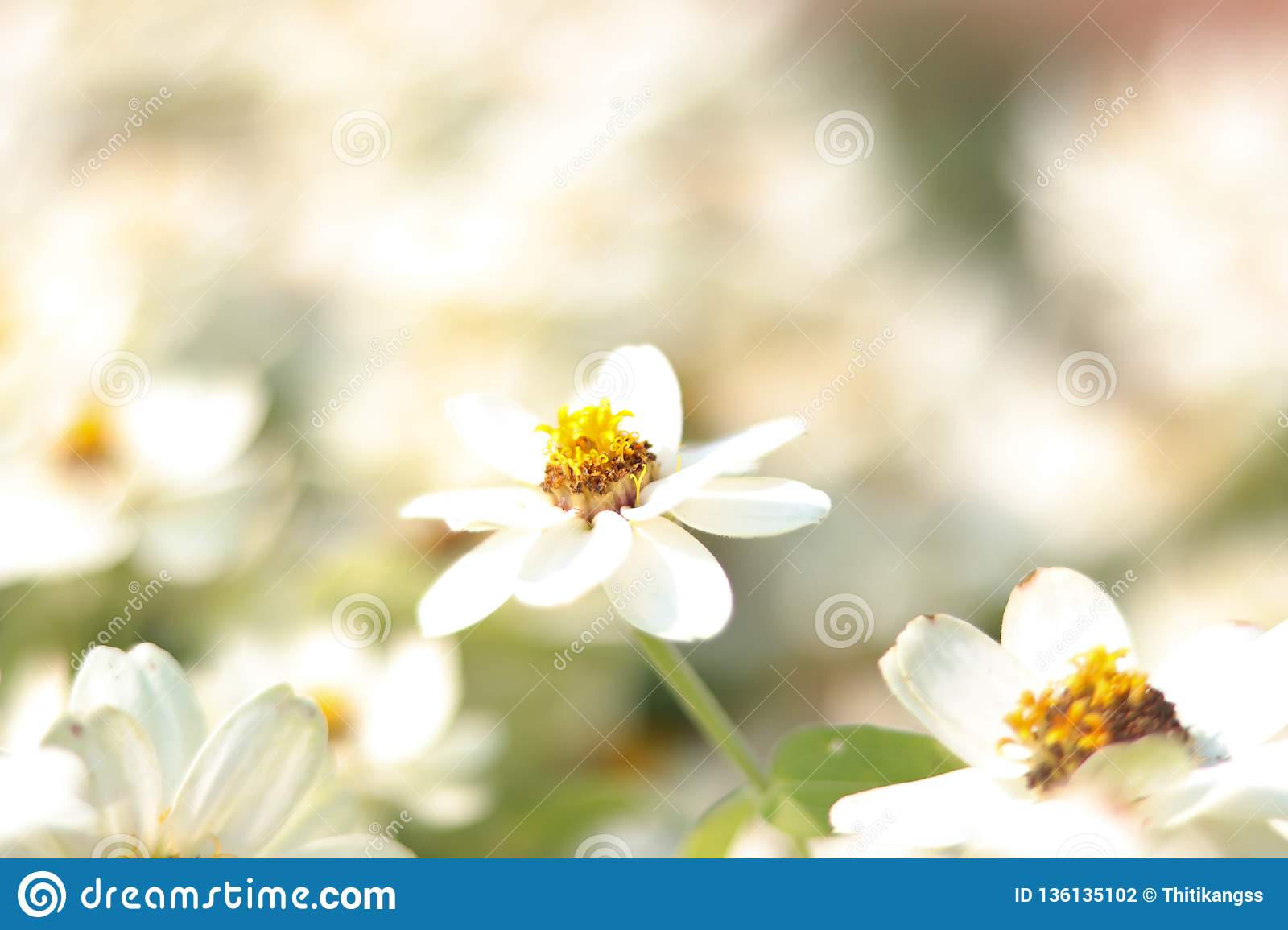 Closeup white flower on bulr white flowers background. - image