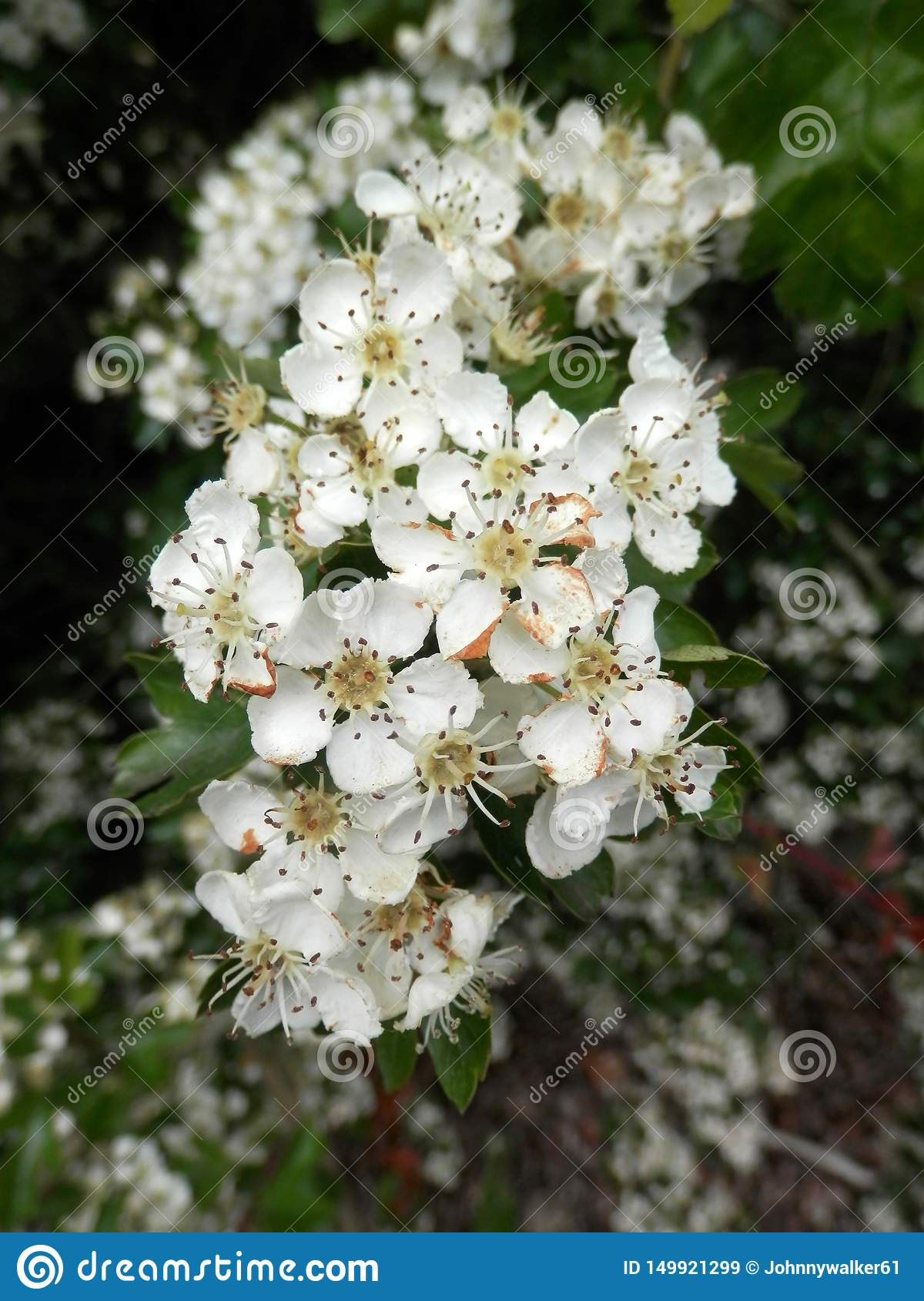 Closeup of white hawthorn flower