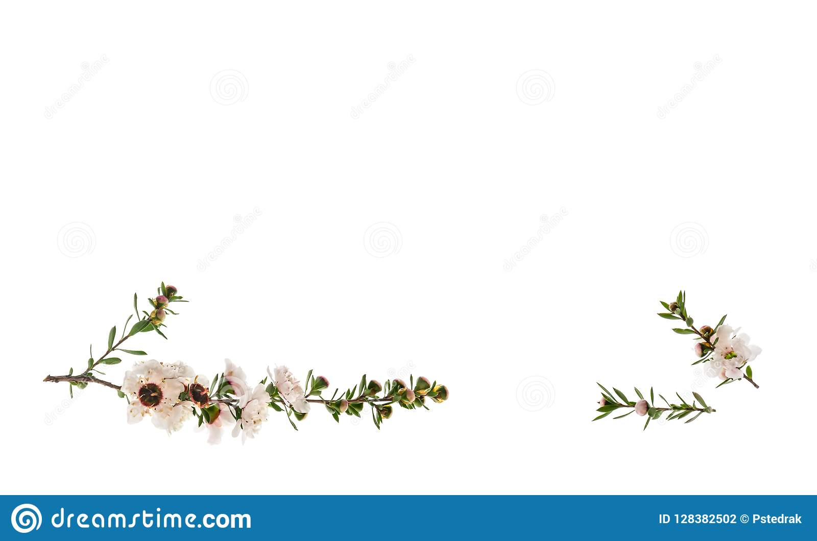 White manuka tree flowers isolated on white background with copy space above