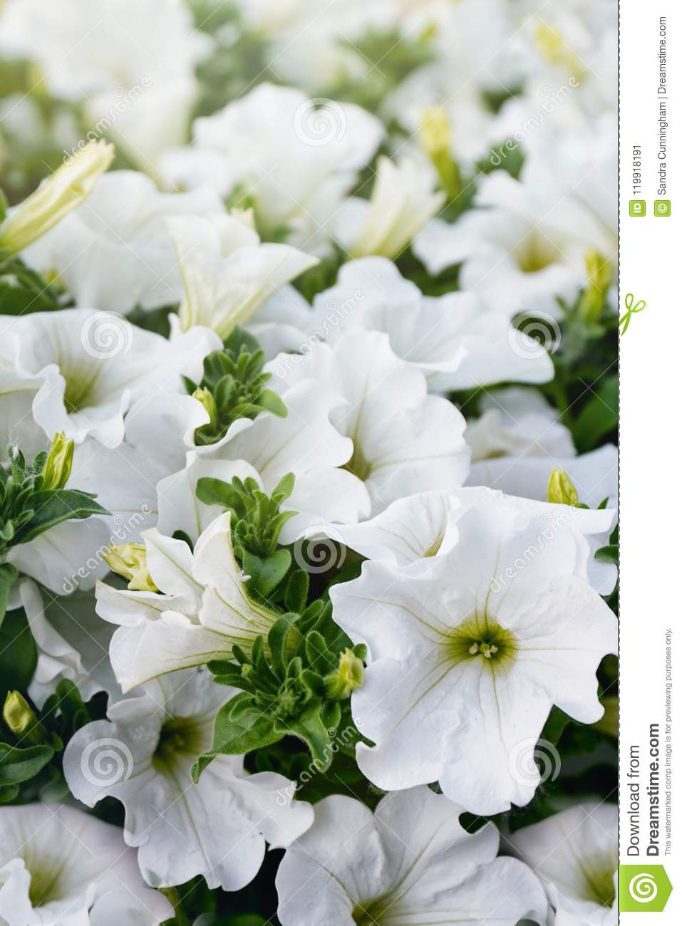 Closeup Of White Petunia Flowers In The Sun Stock Image Image Of