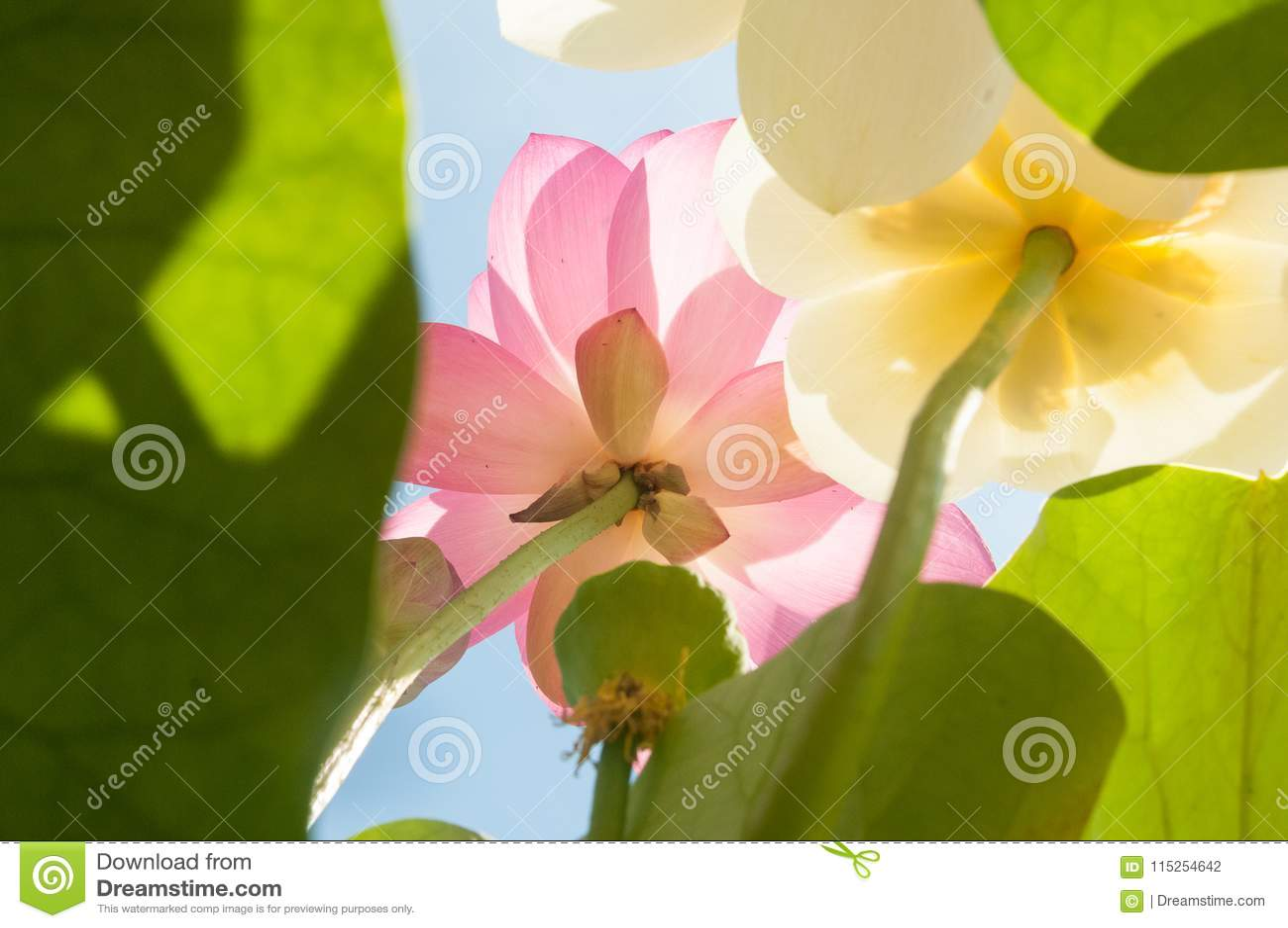 Closeup White And Pink Flower Of Lotus Nelumbo Nucifera Stock Photo
