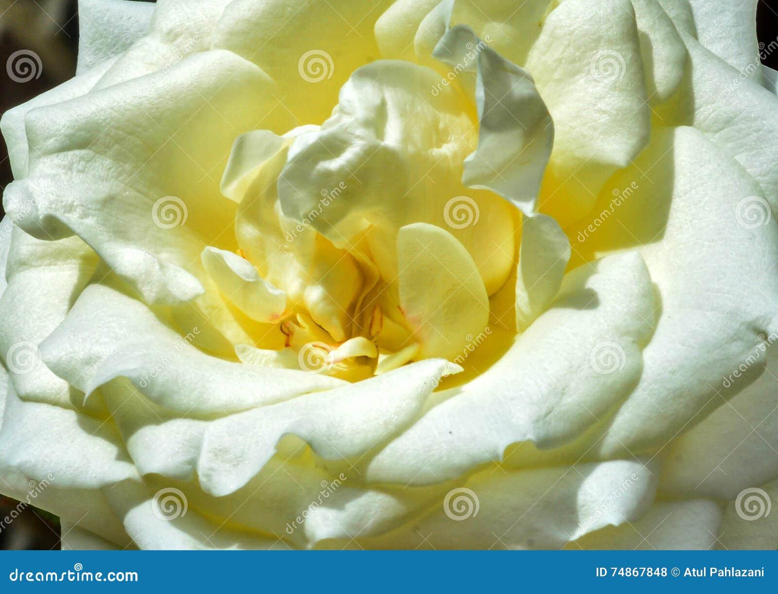 A Closeup White Rose Stock Photo Image Of Petals Closeup 74867848