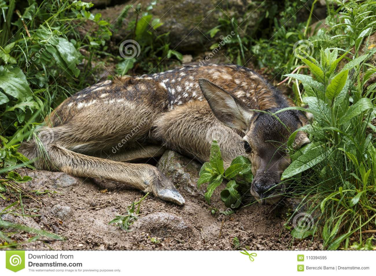 Closeup of a whitetail deer fawn bedded down in a woodland habitat.