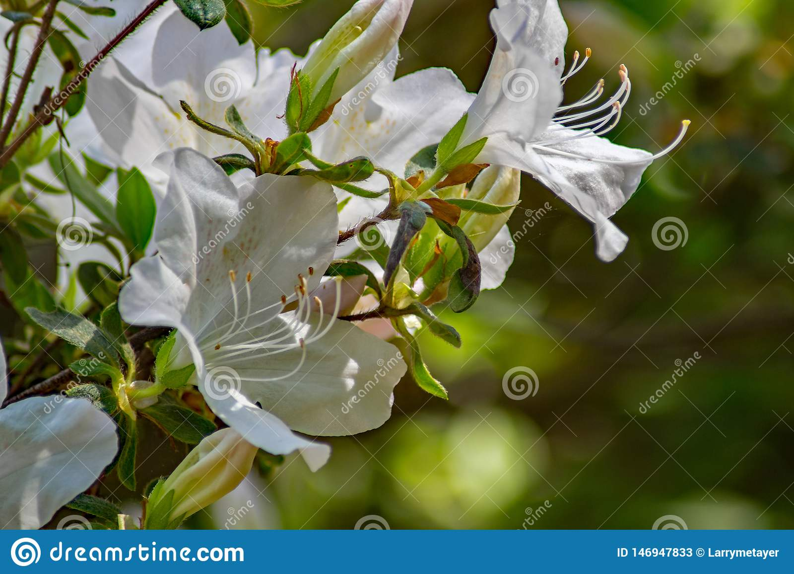 Closeup of Wild White Azalea Flowers