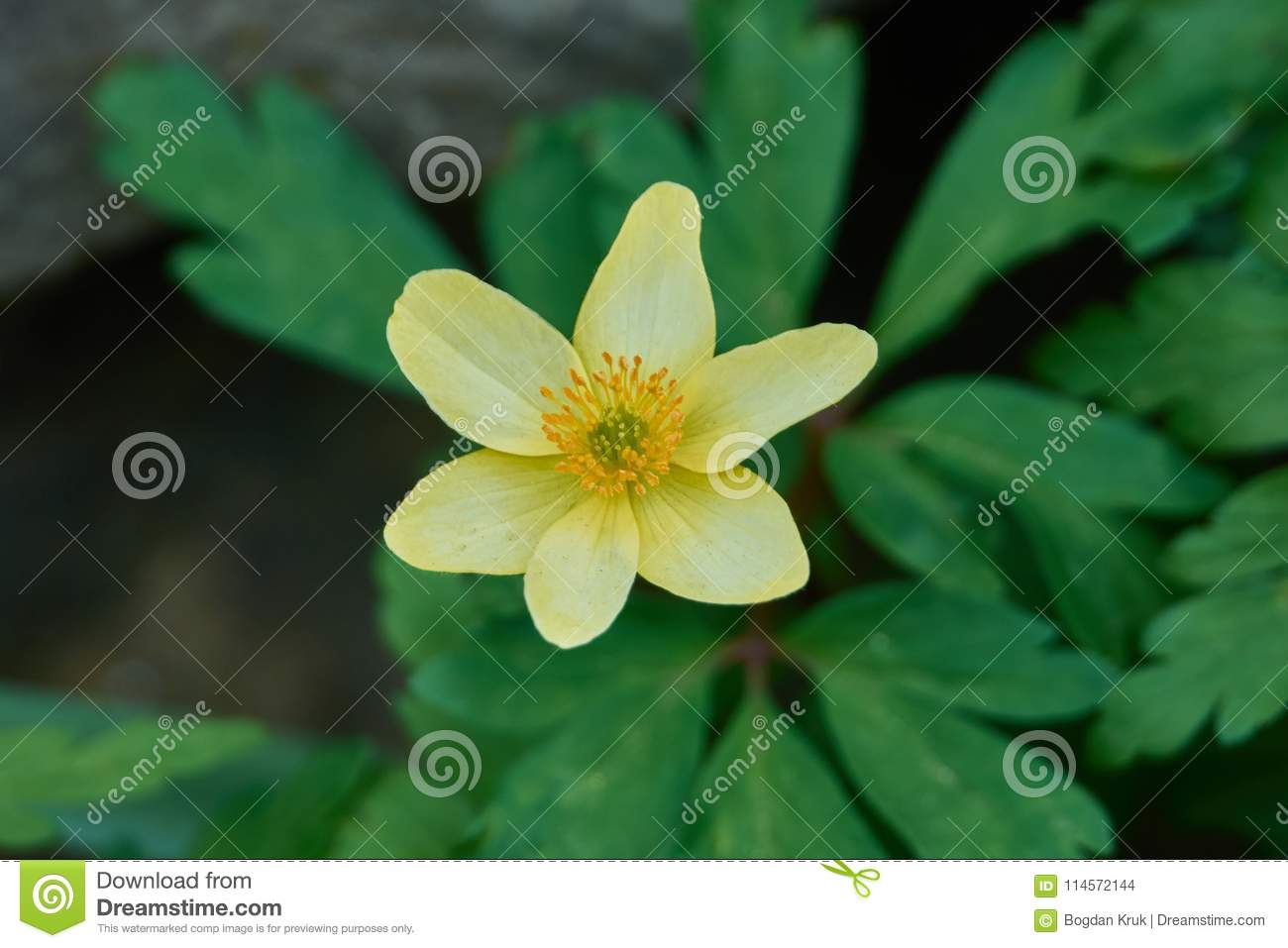 A Closeup Of A Yellow Anemone Flower Stock Photo Image Of Botany