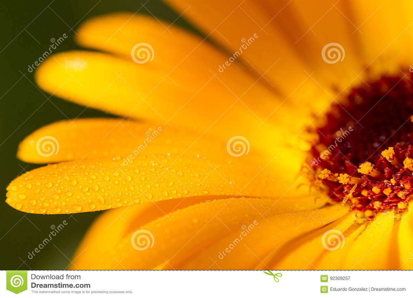 Closeup Of Yellow Daisy Stock Image Image Of Yellow 92309257