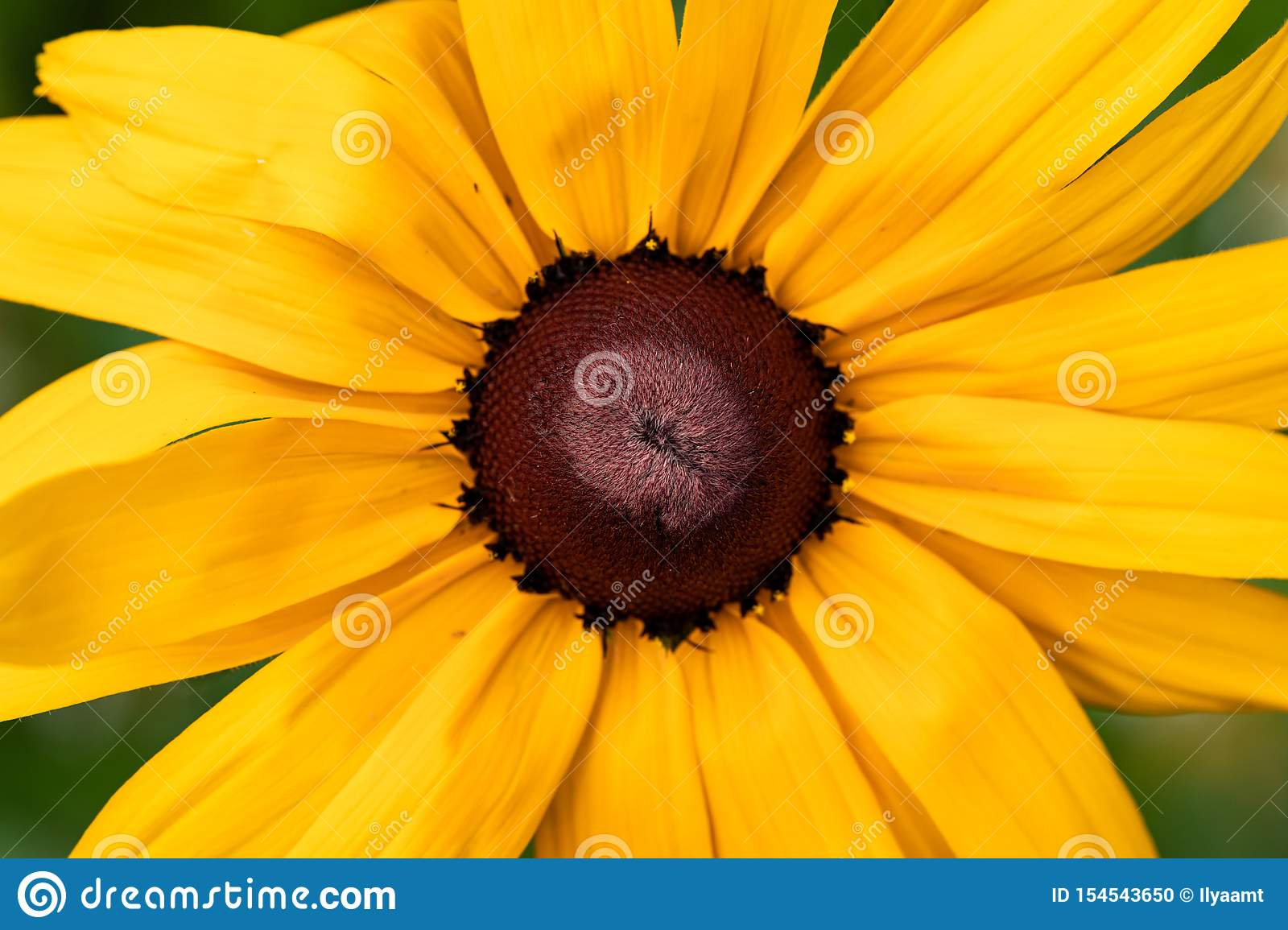 Closeup Of A Yellow Flower On A Blurred Natural Green Background Yellow Flower With A Red Brown Center Like A Daisy Stock Photo Image Of Beautiful Blooming 154543650 Even though alan looks like a puppet, his movements and sounds are chilling, and after a few videos, it's easy to fall down the rabbit hole of daisy brown youtube conspiracy theories. dreamstime com