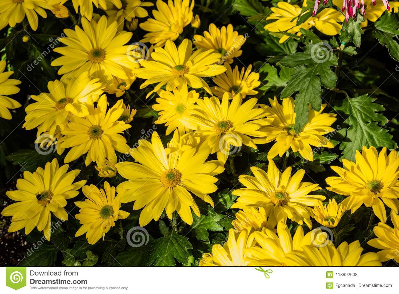 Yellow mums flowers stock photo image of background 113992608 download yellow mums flowers stock photo image of background 113992608 mightylinksfo