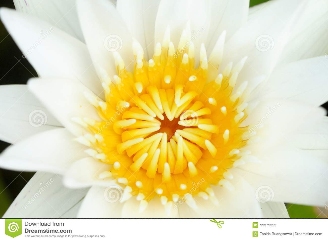 Closeup Yellow Pollen Of White Lotus In Pond Buddhism Symbol Stock
