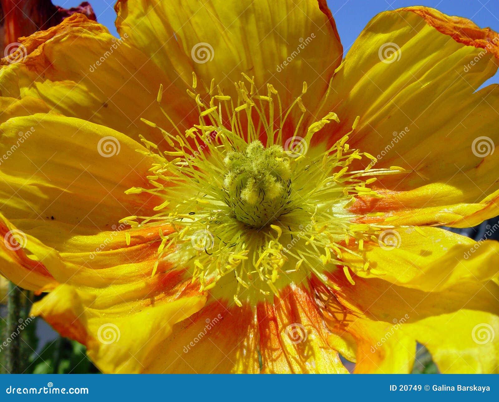 Closeup of yellow poppy