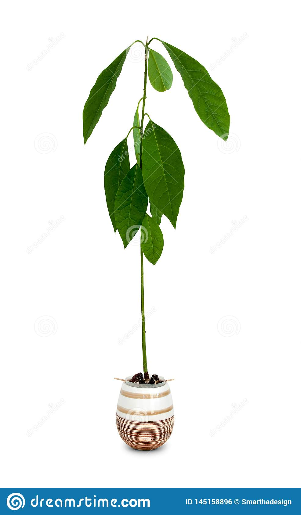 Young Avocado Tree Pictures