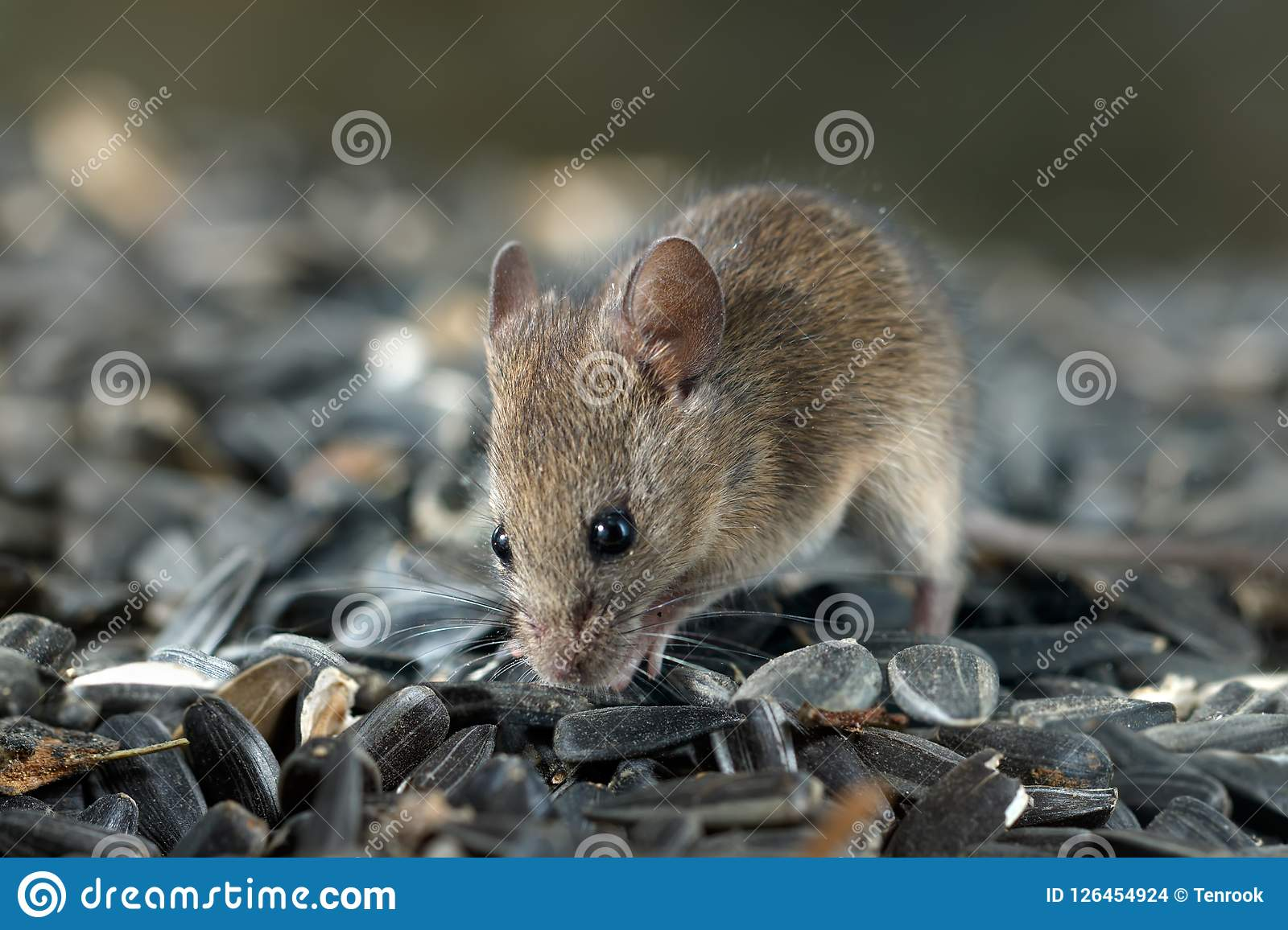 Closeup young vole mouse sniffs sunflower seeds in warehouse.
