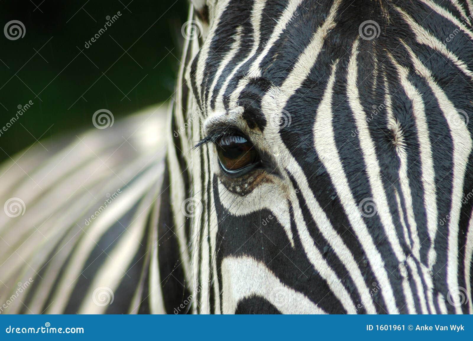 Closeup Zebra eye