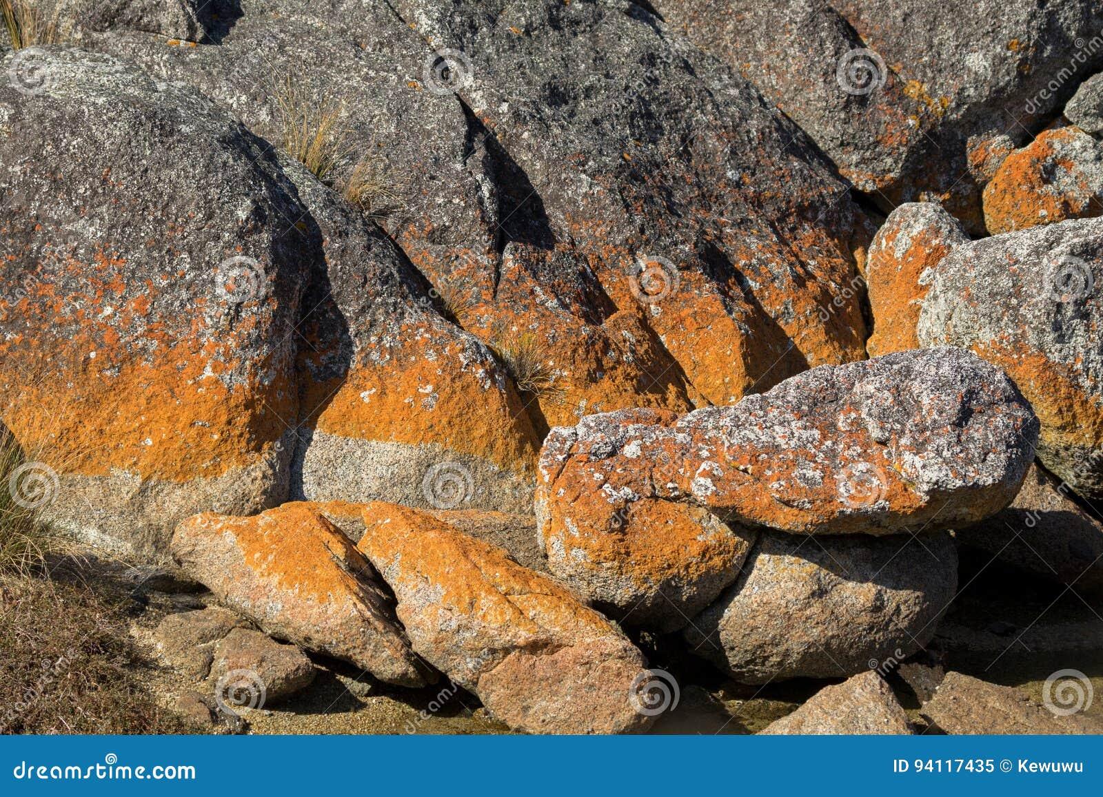 Closeupen av den röda orange laven som växer på granit, vaggar bildande