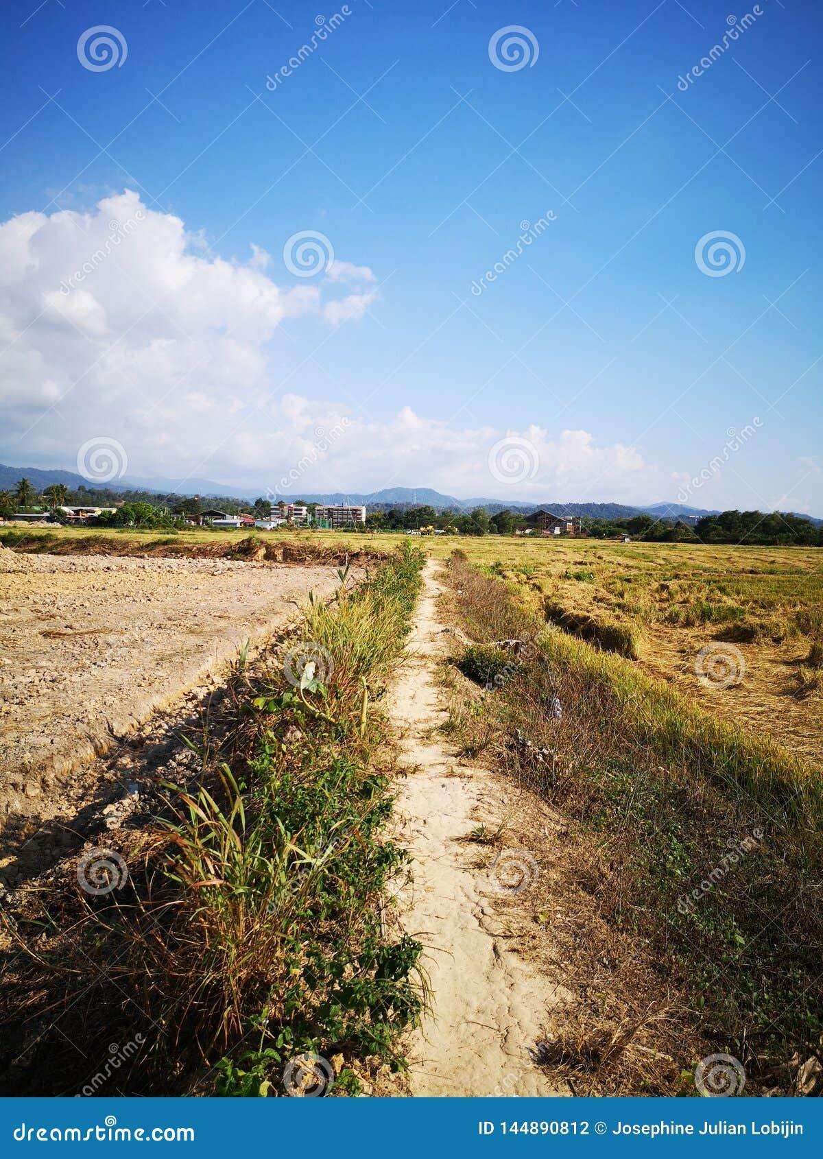 Closeupen skördade risfältfältet i Penampang, Sabah