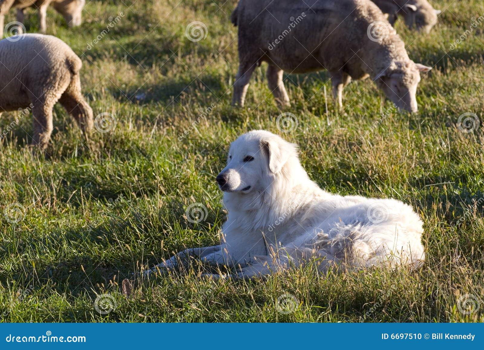 Closeupsheepdog