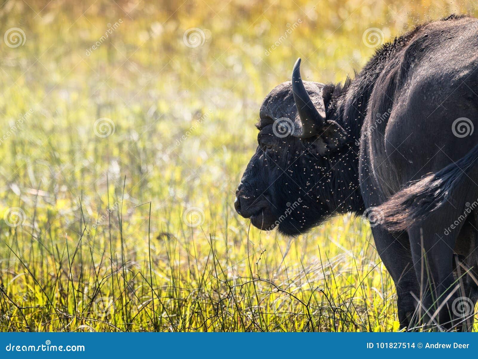 Closeupsikt av en enkel vattenbuffel i ett moln av flugor/ins